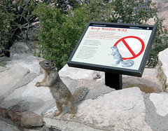 A squirrel begs for food next to a sign prohibiting feeding the animals at the Grand Canyon.