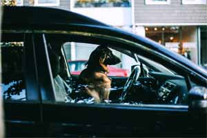 A dog sits in a closed car and waits